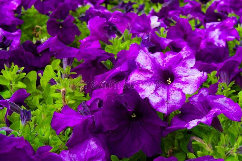 Close up no campo da florescência roxa das flores fotos de stock royalty free