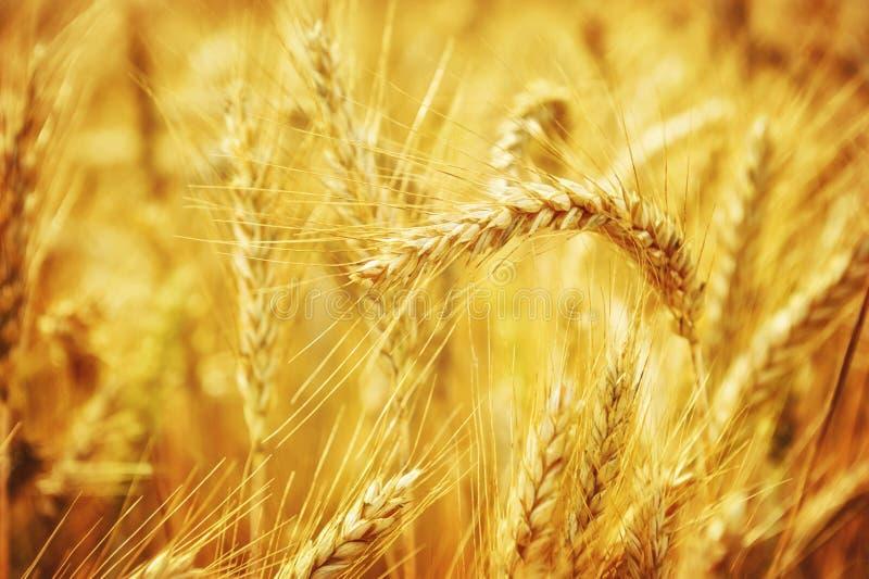 Close up no campo de trigo dourado imagem de stock royalty free