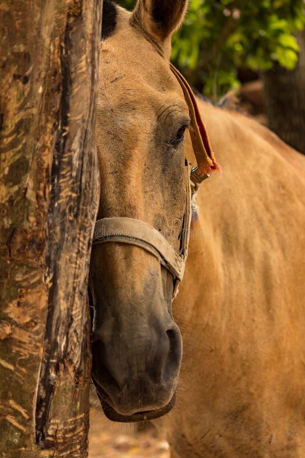 Close up no nariz do cavalo foto de stock royalty free