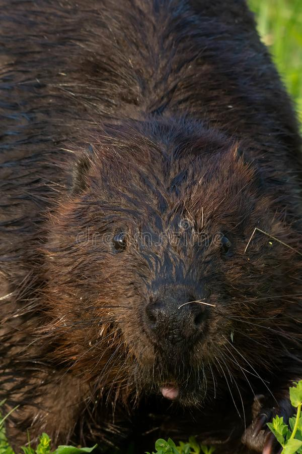 Download North American Beaver - Castor Canadensis Stock Photo - Image of ontario, semiaquatic: 118766758