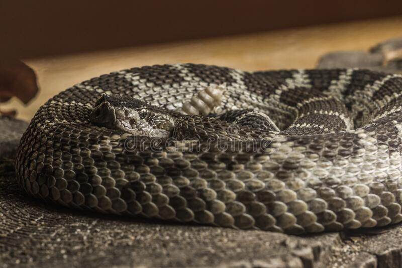 Close up of a Northern Pacific Rattlesnake stock photography