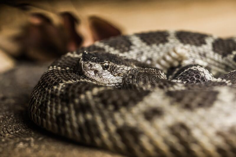 Close up of a Northern Pacific Rattlesnake royalty free stock images