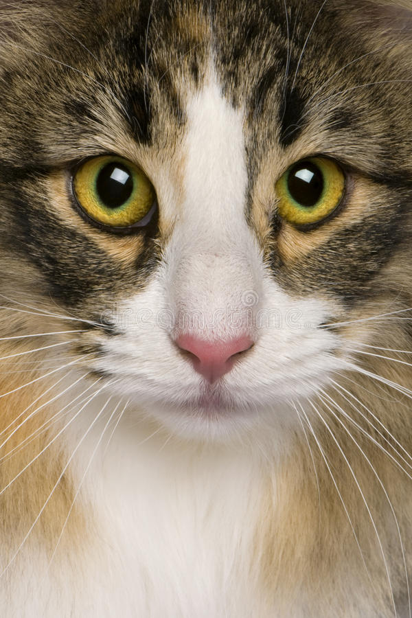 Close up of a Norwegian Forest Cat (8 months old) stock photo