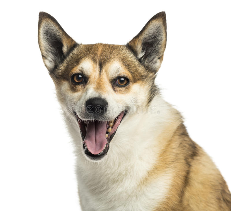 Close-up of a Norwegian Lundehund panting, isolated stock image