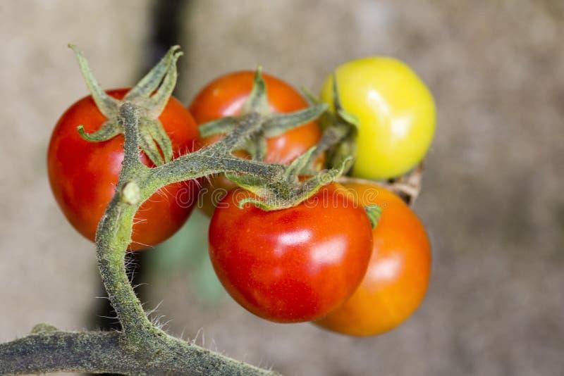 Close up nos tomates maduros e verdes que crescem na videira na estufa imagem de stock