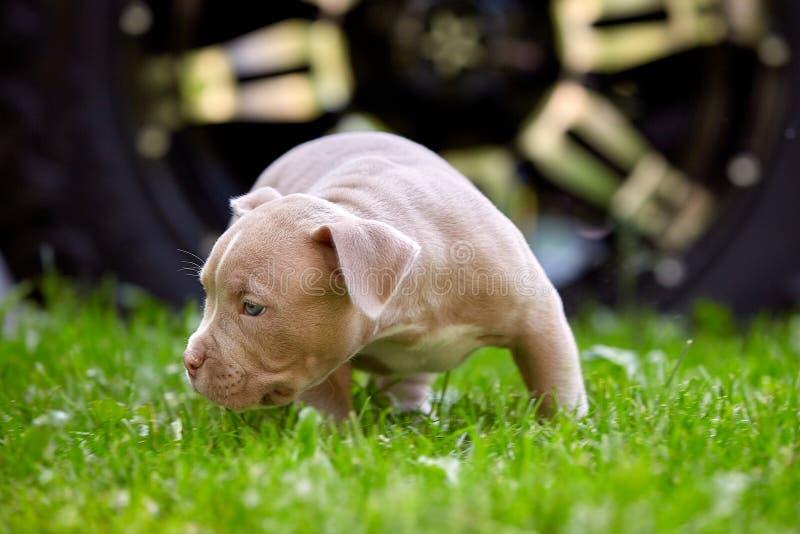Close-up novo de Bulli do americano da raça do cão Cachorrinho Bull, cães pequenos bonitos que correm em torno da grama verde Gra imagem de stock