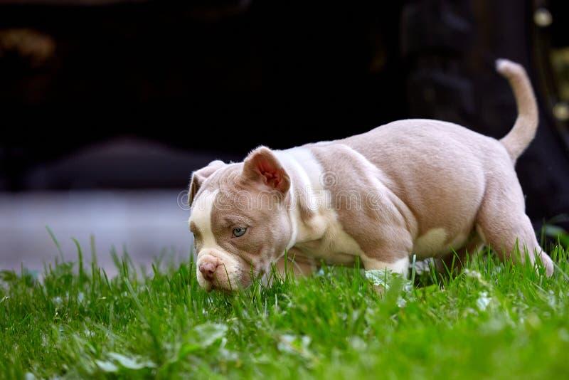 Close-up novo de Bulli do americano da raça do cão Cachorrinho Bull, cães pequenos bonitos que correm em torno da grama verde Gra fotos de stock royalty free