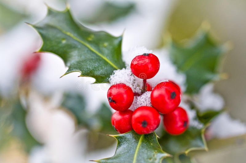 Close up od a branch of holly with red berries. Covered with snow royalty free stock photography