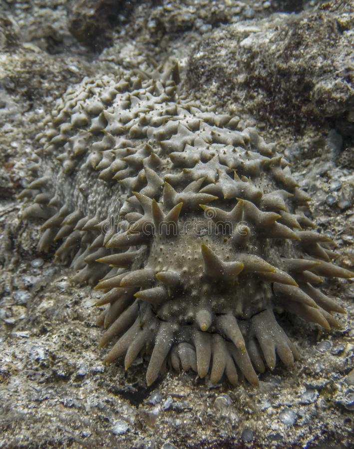 Close Up Odd Pineapple Sea Cucumber Underwater with Pointy Spines royalty free stock photos