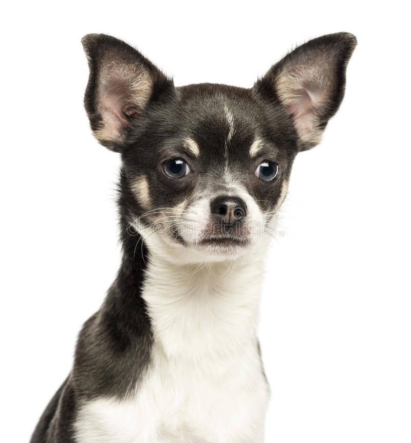 Free Close-up Of A Chihuahua Looking At Tha Camera, 7 Months Old Royalty Free Stock Photography - 31739237