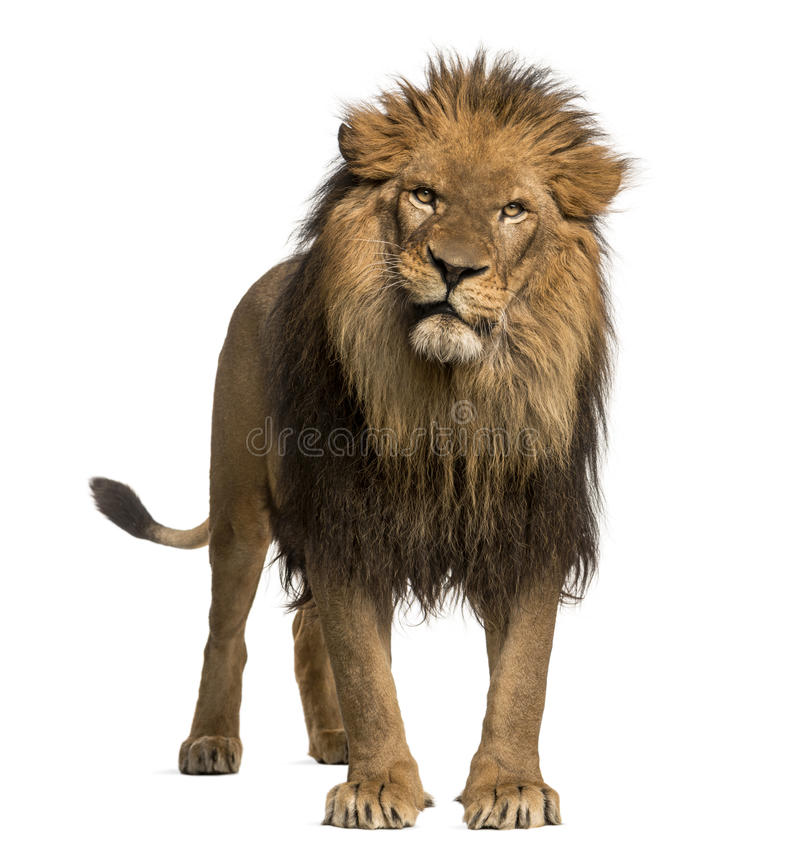 Free Close-up Of A Lion Roaring, Panthera Leo, 10 Years Old, Isolated Stock Images - 35538184