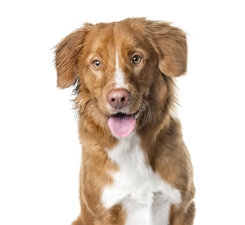 Free Close-up Of A Nova Scotia Duck Tolling Retriever Panting Stock Photography - 89215512