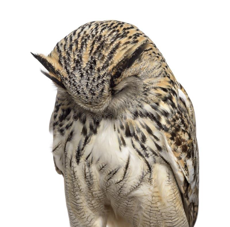 Free Close-up Of A Siberian Eagle Owl Sleeping - Bubo Bubo Stock Photos - 63253883