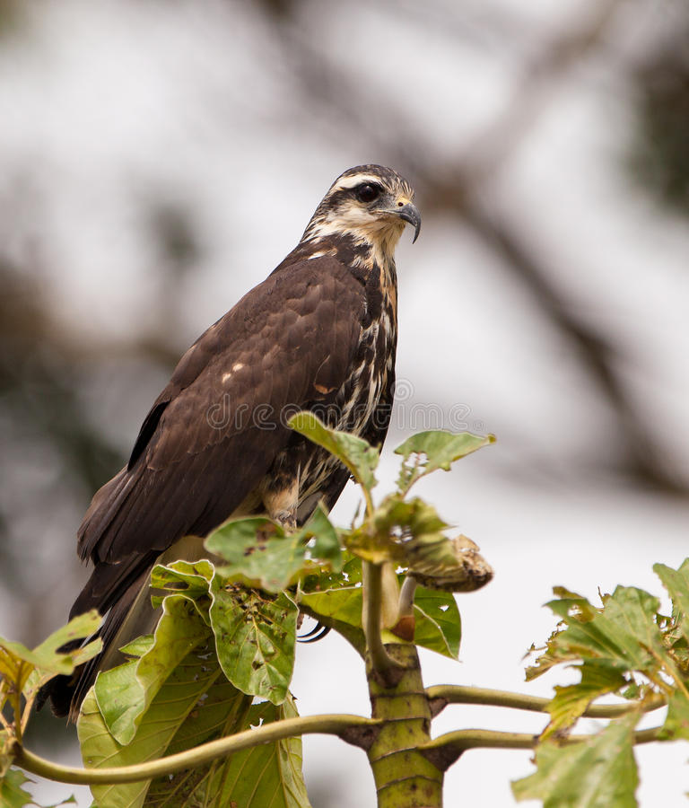 Free Close-up Of A Snail Kite Royalty Free Stock Photography - 26445537