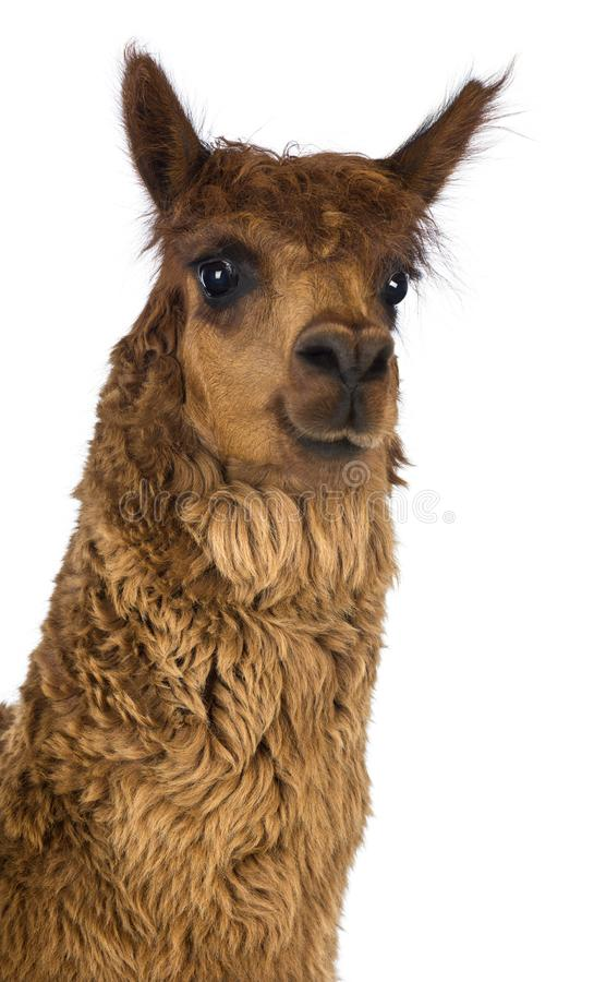 Free Close-up Of Alpaca Against White Background Royalty Free Stock Image - 131683976