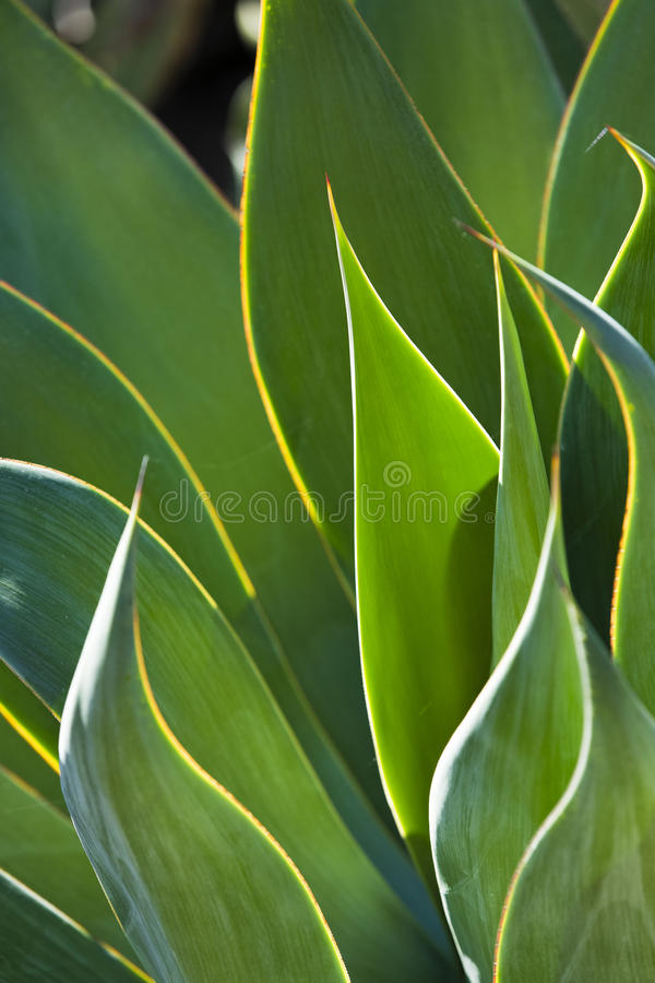 Free Close-Up Of BackLit Century Plant Leaves Stock Image - 34377091