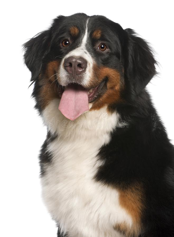 Free Close-up Of Bernese Mountain Dog, 12 Months Old Royalty Free Stock Photos - 129917878