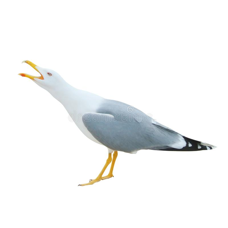Free Close-up Of Big White Seagull Standing Screaming Crying With Ope Stock Photography - 107112832