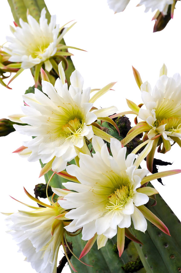 Free Close Up Of Cactus Flowers Stock Image - 15228931