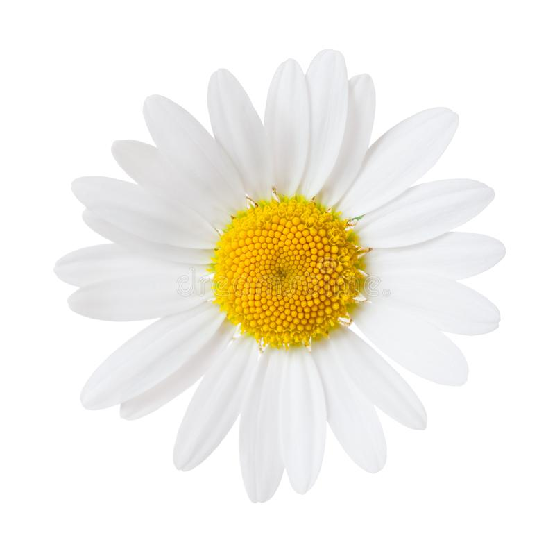 Free Close-up Of Chamomile Isolated On White Background. Ox-Eye Daisy Royalty Free Stock Photo - 114390825