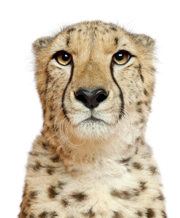 Free Close-up Of Cheetah, Acinonyx Jubatus, 18 Months Old Stock Photography - 131672712