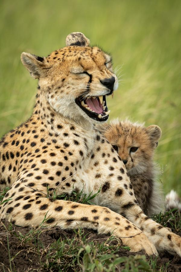 Free Close-up Of Cheetah Lying Yawning With Cub Stock Image - 161272861