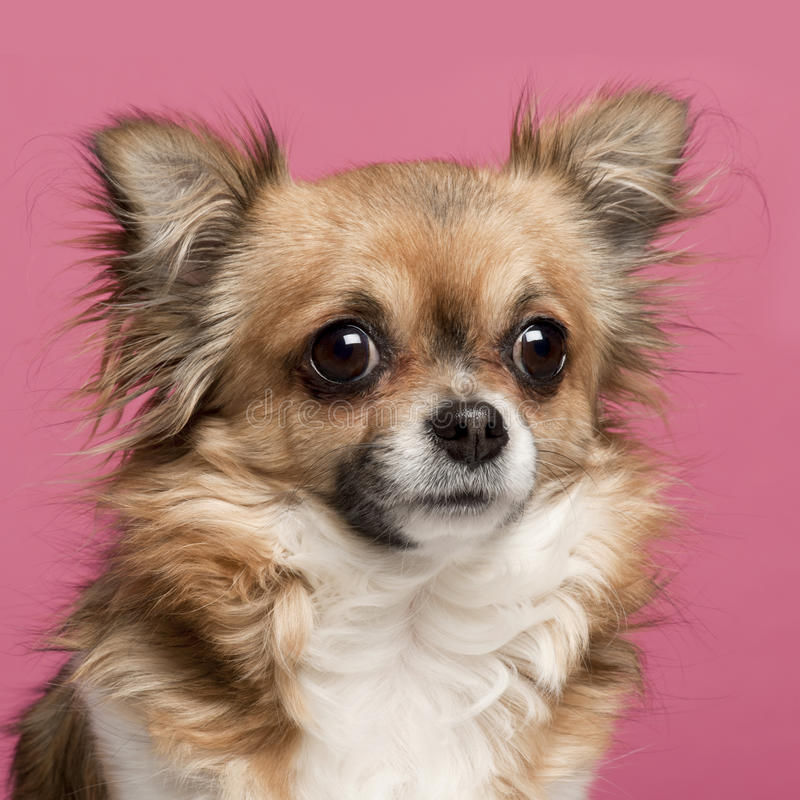 Free Close-up Of Chihuahua, 3 Years Old Royalty Free Stock Images - 19572809