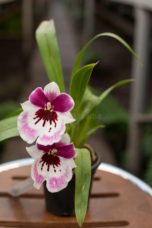 Free Close Up Of Dancing Lady Orchid Oncidium Varicosum, Oncidium Goldiana. Stock Photo - 99761990