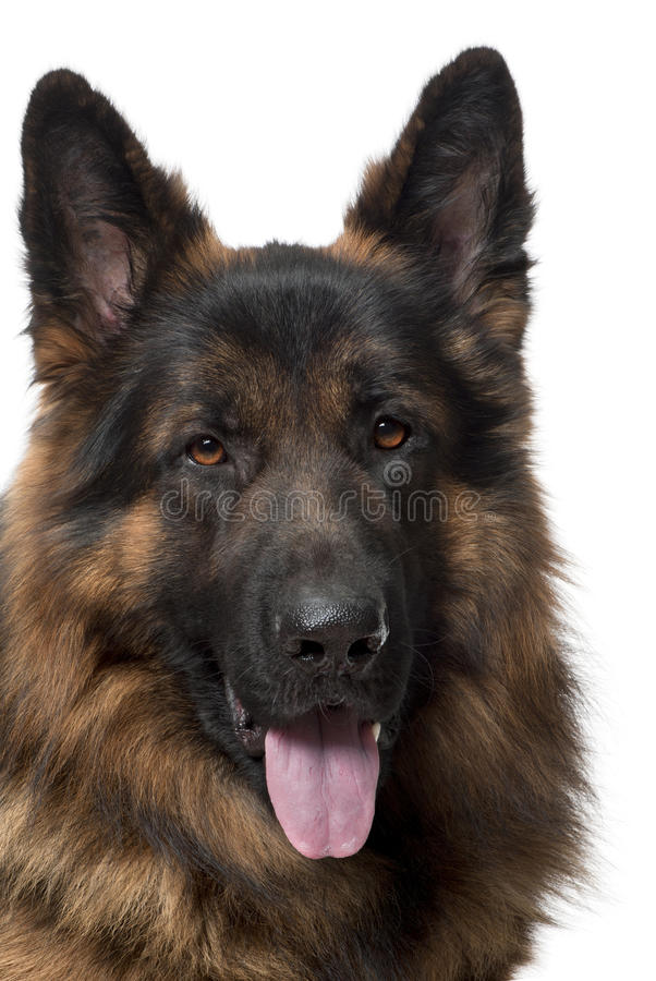 Free Close-up Of German Shepherd Dog, 2 Years Old Stock Images - 23089014