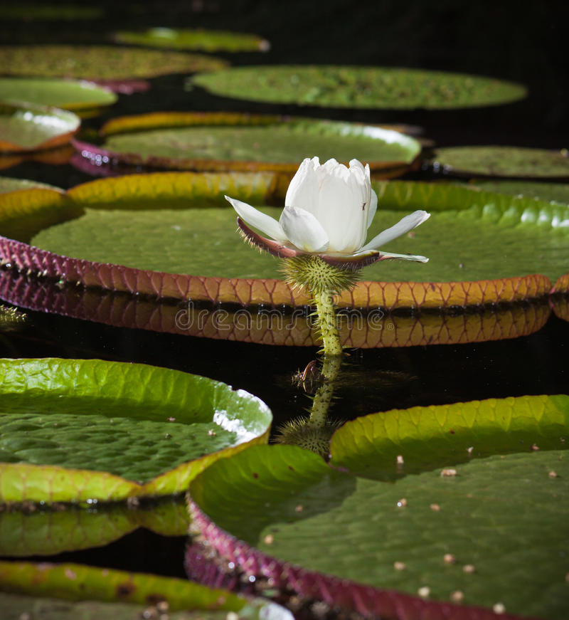 Free Close-up Of Giant Water Lily Royalty Free Stock Photo - 22955275