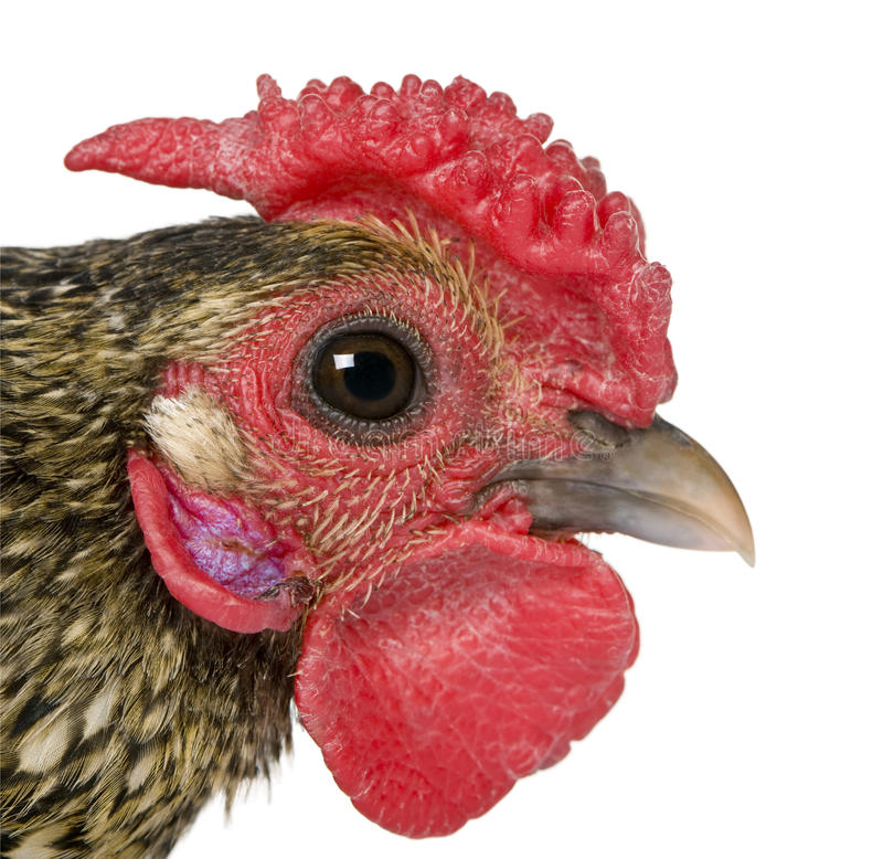 Free Close-up Of Golden Sebright Rooster, 1 Year Old Royalty Free Stock Image - 15361026