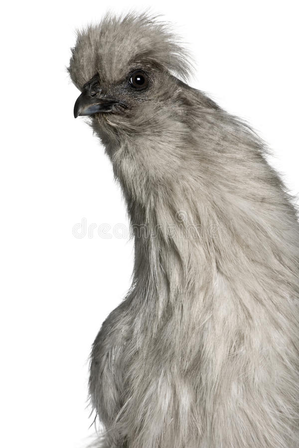 Free Close-up Of Grey Silkie Hen Stock Photography - 12910962