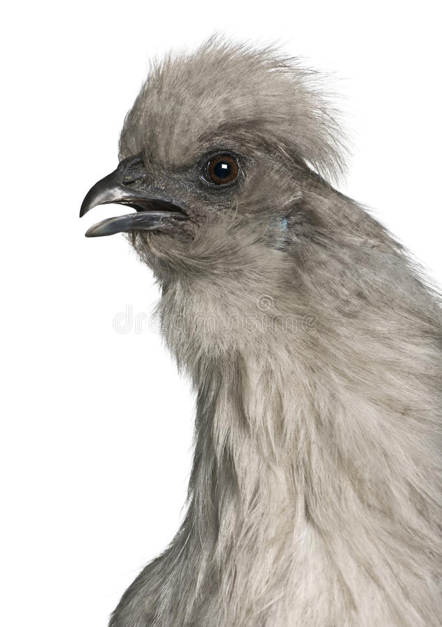 Free Close-up Of Grey Silkie Hen Stock Images - 12910974