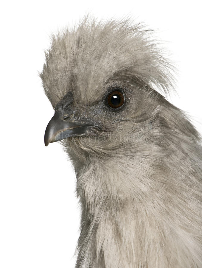 Free Close-up Of Grey Silkie Hen Stock Images - 12910994