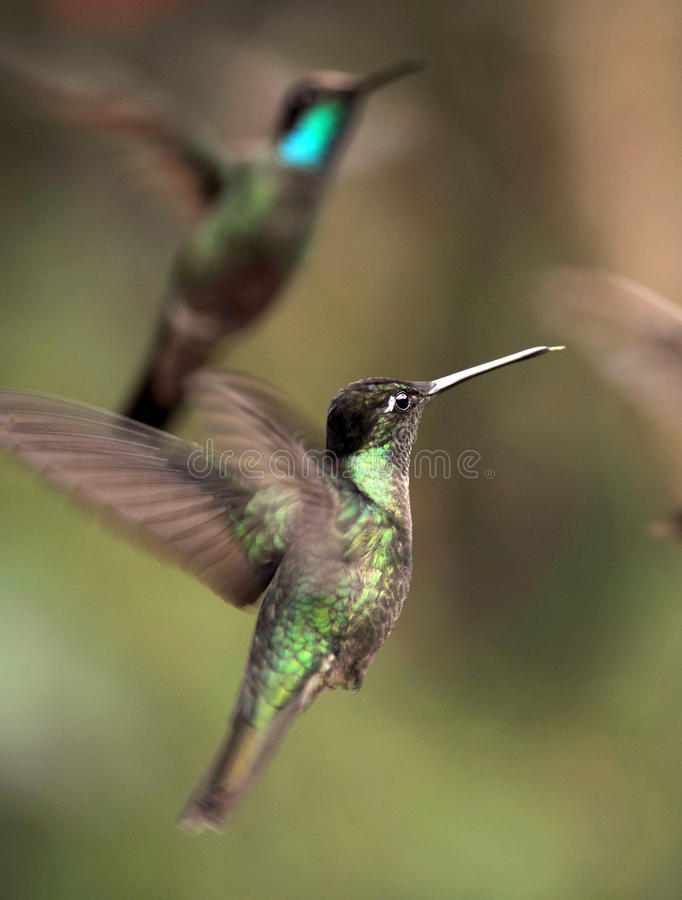 Free Close Up Of Hummingbirds Flying, Costa Rica Stock Image - 12441611