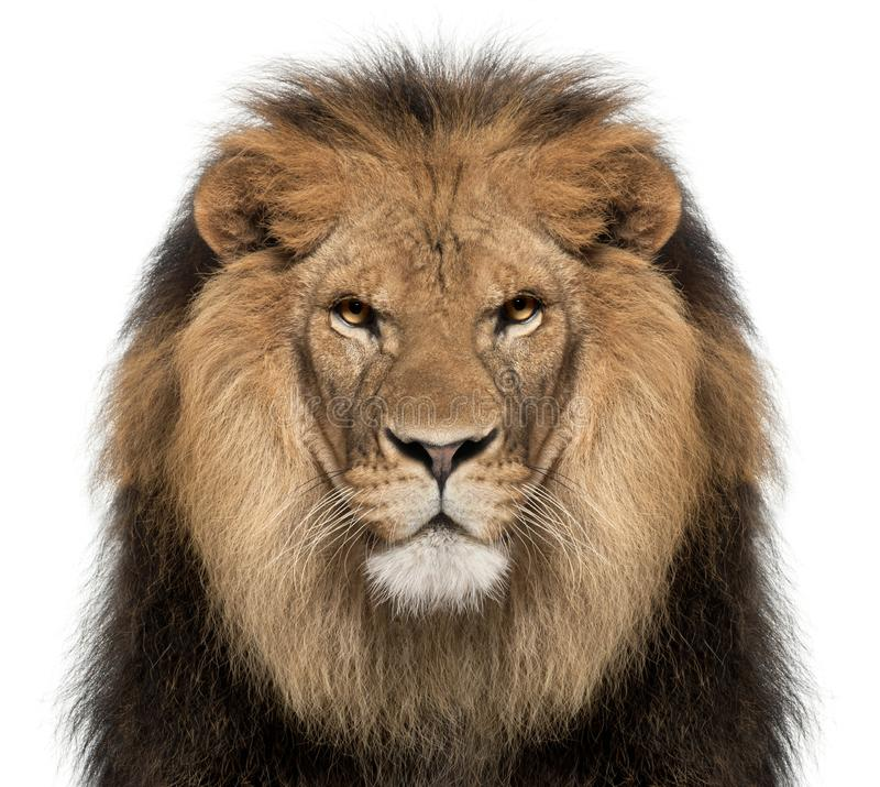 Free Close-up Of Lion, Panthera Leo, 8 Years Old Stock Photography - 129916072