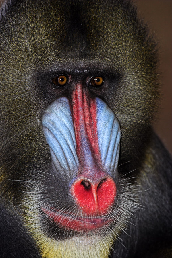Free Close Up Of Male Mandrill Stock Images - 1418984