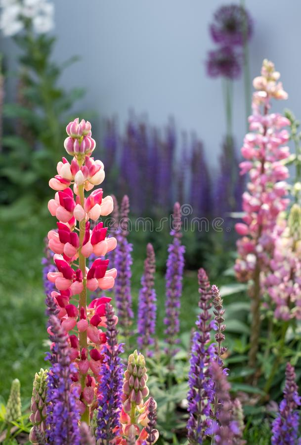 Free Close Up Of Perfect Pink And Purple Lupin Flowers With Green Foliage In Background. Stock Image - 117796101