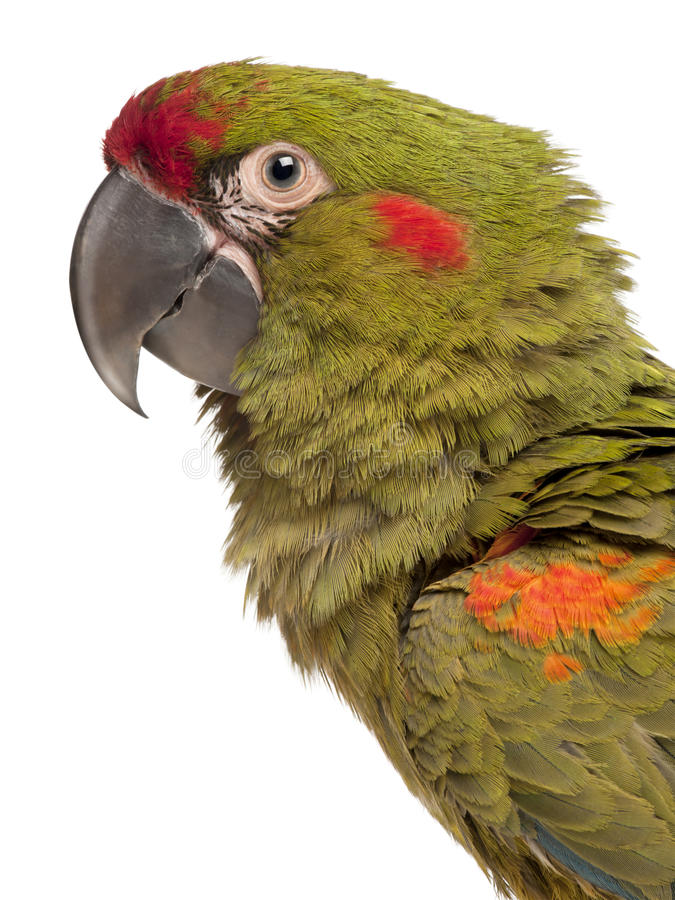Free Close-up Of Red-fronted Macaw, Ara Rubrogenys Stock Photo - 20252850