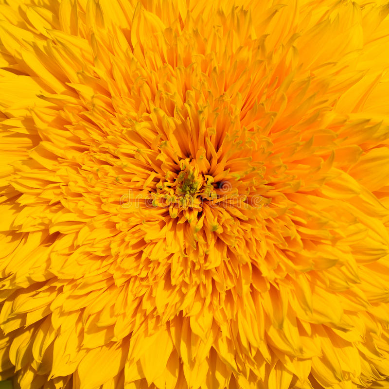 Free Close-up Of Yellow Sunflower Royalty Free Stock Photography - 11181667