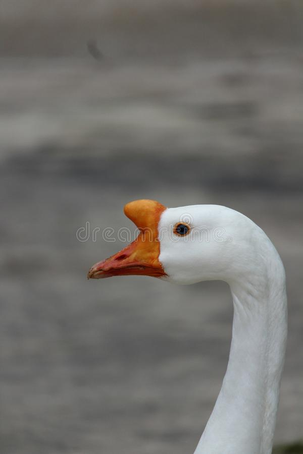 Close up off the head of a male Chinese White Goose. stock images