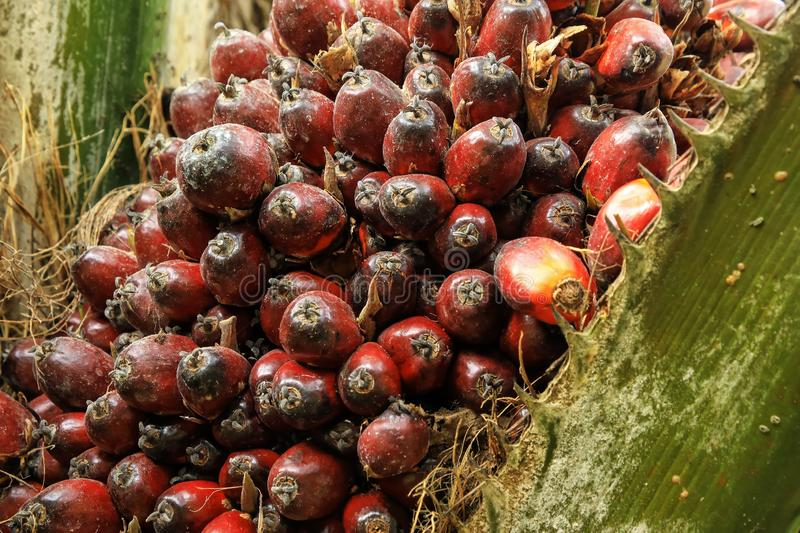 Close-up of oil palm fruit on a tree. Palm oil cultivation has been criticized for impacts on the natural environment, including deforestation and loss of royalty free stock images