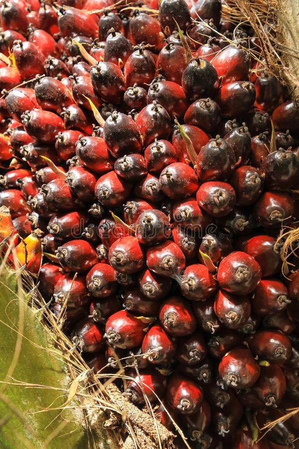 Close-up of oil palm fruit on a tree. Palm oil cultivation has been criticized for impacts on the natural environment, including deforestation and loss of royalty free stock image