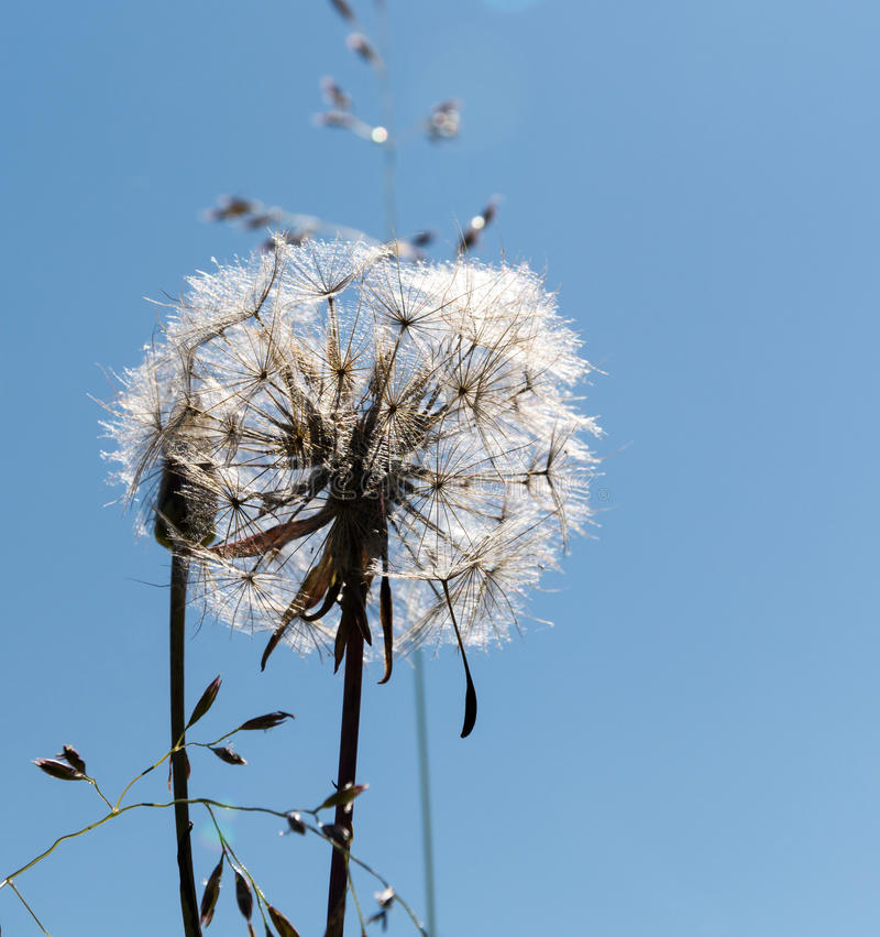 Close-up of old dandelion and a seed stock photos