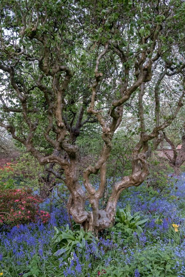 Close up of old gnarled tree trunk and colourful flowers in border outside the walled garden at Eastcote House, Hillingdon stock photos