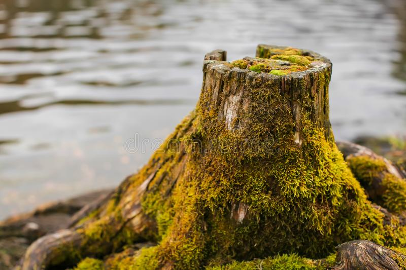 Close up Old stump overgrown with moss near the river. Natural backgraund with old rotten stump with roots stock photo