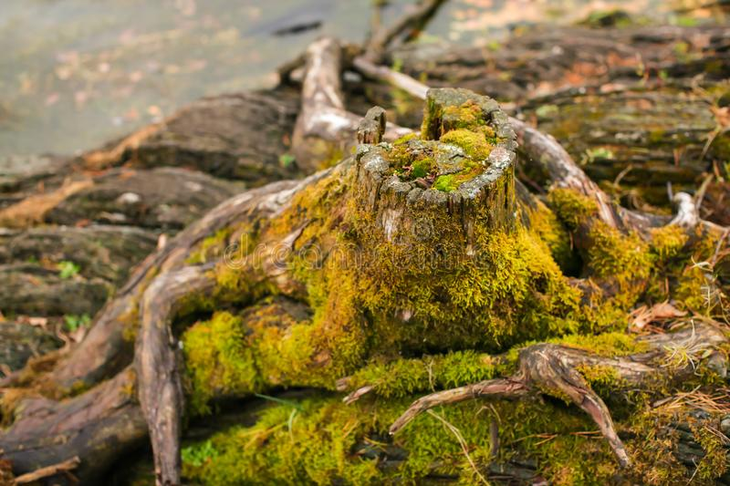 Close up Old stump overgrown with moss near the river. Natural backgraund with old rotten stump with roots stock image