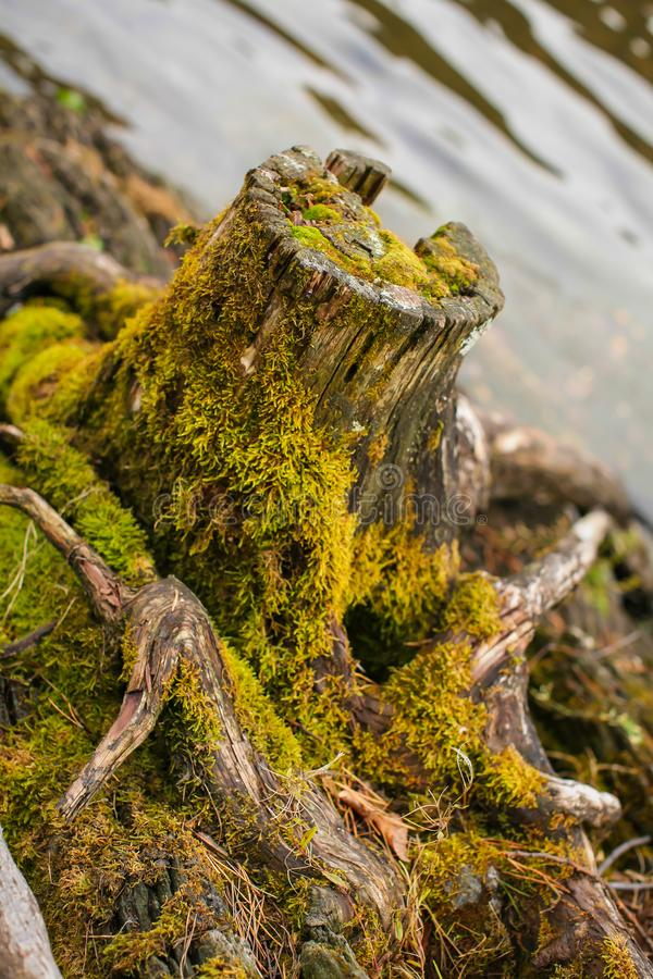 Close up Old stump overgrown with moss near the river. Natural backgraund with old rotten stump with roots royalty free stock photo
