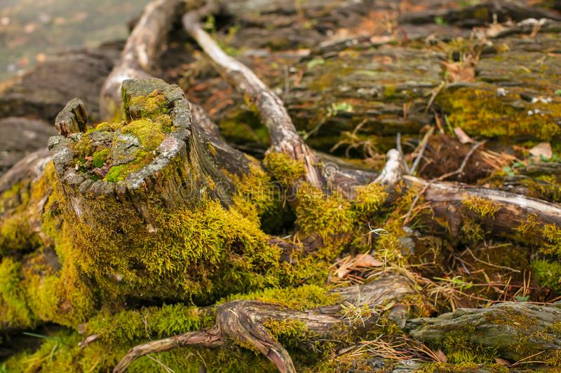 Close up Old stump overgrown with moss near the river. Natural backgraund with old rotten stump with roots royalty free stock images