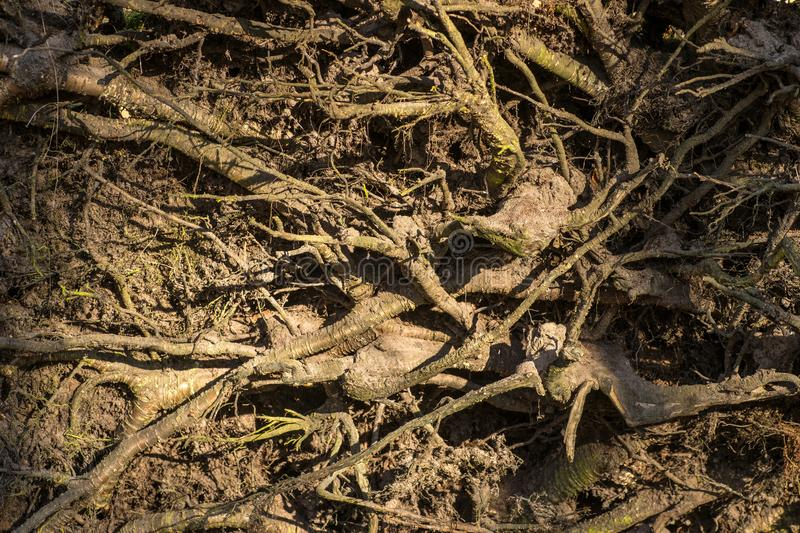 Close up of old weathered roots from trees on the forest floor stock photo